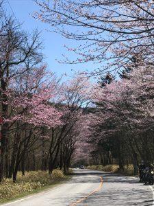 いろは坂の山桜